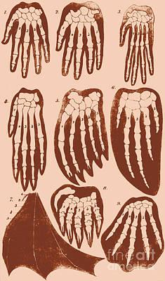 Vertebrate Mammal Forefeet, Ernst Art Print