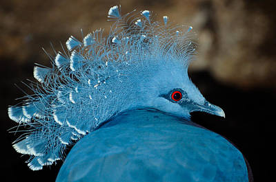 Photograph - Victoria Crowned Pigeon by Chua  ChinLeng