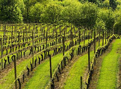 Vineyard In July Art Print by Jean Noren