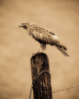Photograph - Vintage Hawk by Steve McKinzie