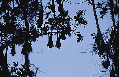 Vulnerable Spectacled Flying Fox Bats Art Print by Jason Edwards
