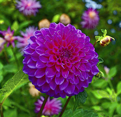 Photograph - Walter Peak Dahlia by Paul Svensen