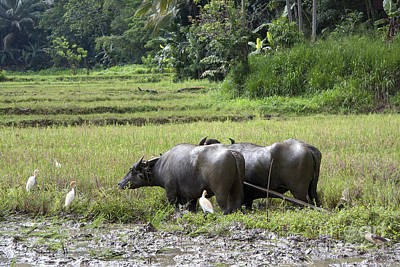 Lanka Photograph - Water Buffalo by Jane Rix