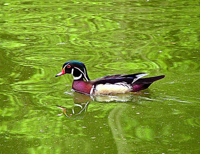 Water Wood Duck Art Print by Wendy McKennon