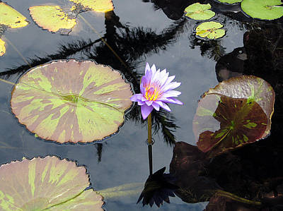Photograph - Waterlillies by Karen Zuk Rosenblatt