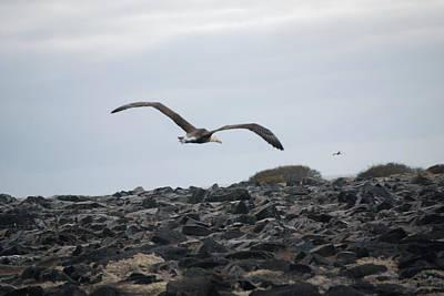 Photograph - Waved Albatross In Flight by Harvey Barrison