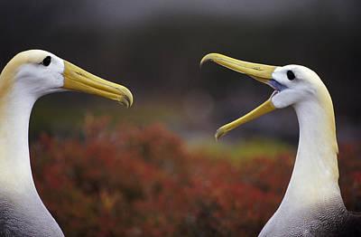 Photograph - Waved Albatross Phoebastria Irrorata by Tui De Roy