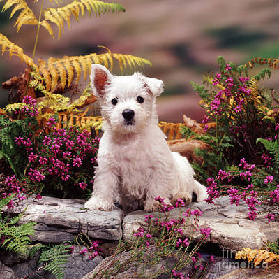 Animal Portraiture Photograph - West Highland Terrier by Jane Burton