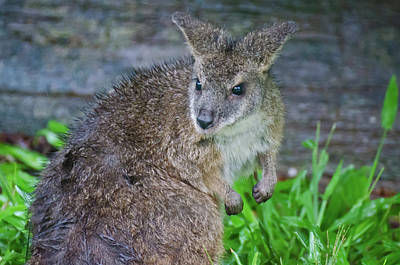 Photograph - Wet Wallaby With Attitude by Harry Strharsky