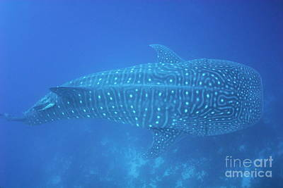 Whale Shark Art Print by Sami Sarkis