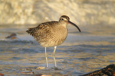 Travel - Whimbrel by Perry Van Munster