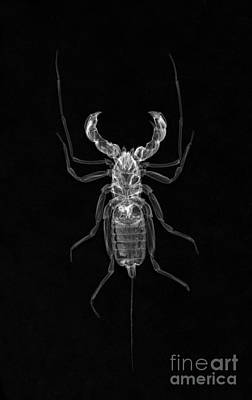 Photograph - Whipscorpion X-ray by Ted Kinsman