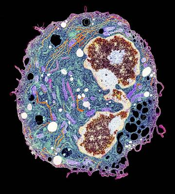 One-celled Animal Photograph - White Blood Cell, Tem by Thomas Deerinck, Ncmir