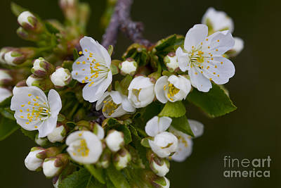 Photograph - White Bloom Clusters by Donna L Munro
