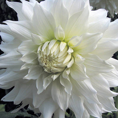 Photograph - White Dahlia Beauty by Lora Fisher