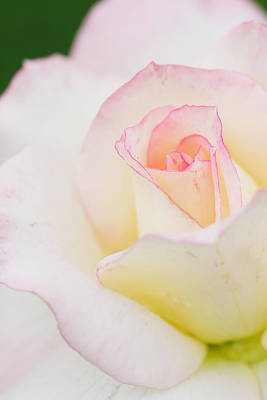 White Rose With Pink Edge Original