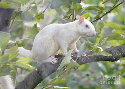 White Squirrel Art Print by Robert E Alter Reflections of Infinity