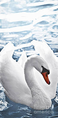 Birds Royalty-Free and Rights-Managed Images - White swan on water by Elena Elisseeva