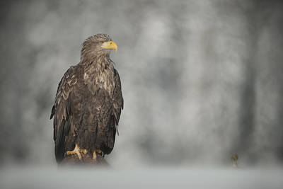 Scandanavia Photograph - White-tailed Eagle by Andy Astbury
