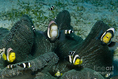 Amphiprion Clarkii Photograph - Whole Family Of Clownfish In Dark Grey by Mathieu Meur