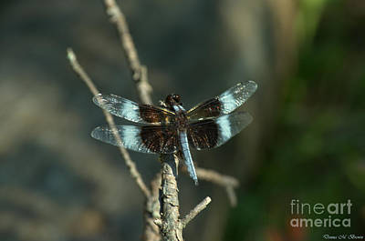 Photograph - Widow Skimmer Dragonfly Male by Donna Brown