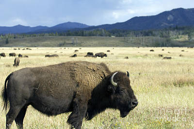 Teton Wall Art - Photograph - Wild Buffalo In Teton National Park by Dustin K Ryan