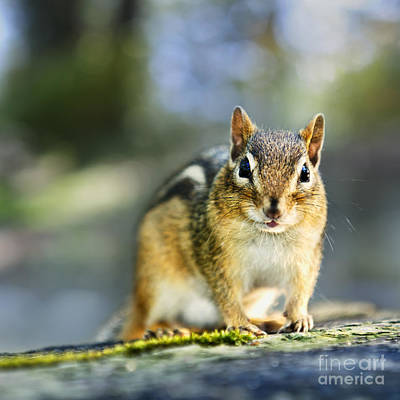 Adorable Photograph - Wild Chipmunk by Elena Elisseeva