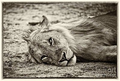 Photograph - Wild Lion Portrait by Gualtiero Boffi