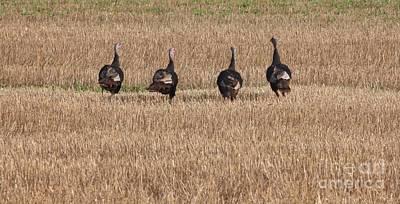 Photograph - Wild Turkey by Jack R Brock