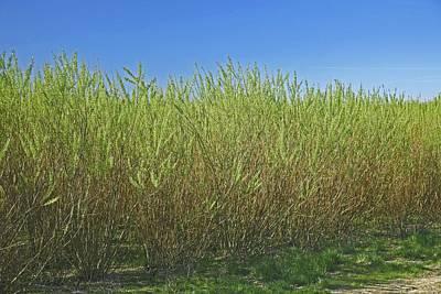 Crop Rotation Wall Art - Photograph - Willow Bioenergy Crop, Sweden by Bjorn Svensson