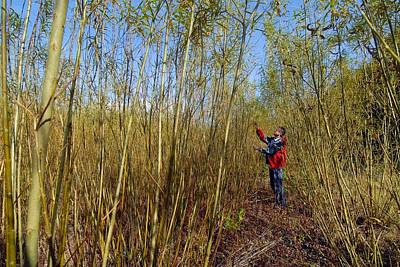 Crop Rotation Wall Art - Photograph - Willow Grown For Bioenergy by Chris Knapton