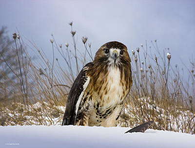 Red Tail Hawk Photograph - Winter Kill by Ron Jones