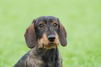 Wire-haired Dachshund Dog  Art Print by Waldek Dabrowski