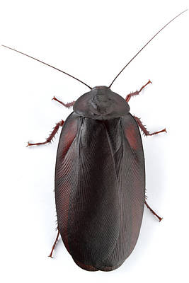 Mar2613 Photograph - Wood Cockroach Barbilla Np Costa Rica by Piotr Naskrecki