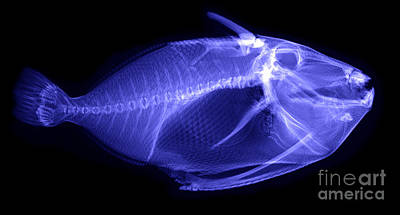 X-ray Of A Clown Triggerfish Print by Ted Kinsman
