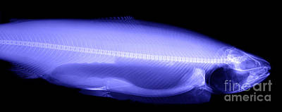 X-ray Of A Trout Art Print by Ted Kinsman