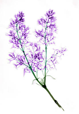 Photograph - X-ray Of Blooming Lilac by Ted Kinsman
