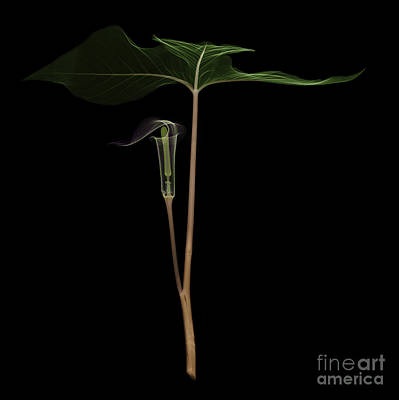 X-ray Of Jack-in-the-pulpit Print by Ted Kinsman