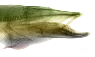 Muskellunge Photograph - X-ray Of Muskie by Ted Kinsman