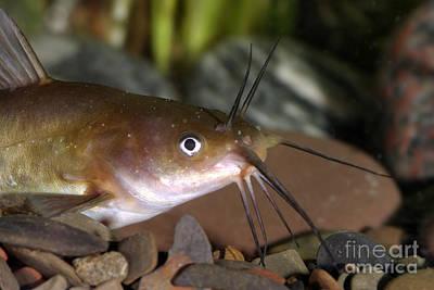Bullheaded Photograph - Yellow Bullhead Catfish by Ted Kinsman