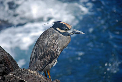 Photograph - Yellow Crested Heron by Harvey Barrison
