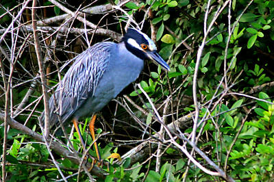 Photograph - Yellow Crowned Night Heron by Ira Runyan