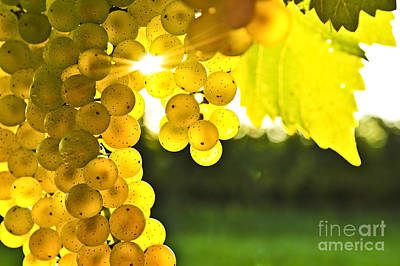Wine Vineyard Photograph - Yellow Grapes by Elena Elisseeva