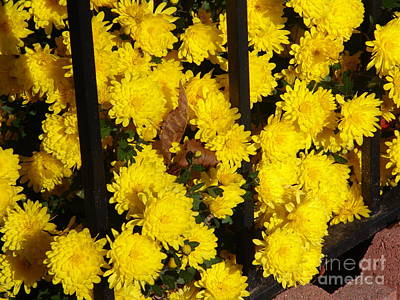Photograph - Yellow Mums by Rod Ismay