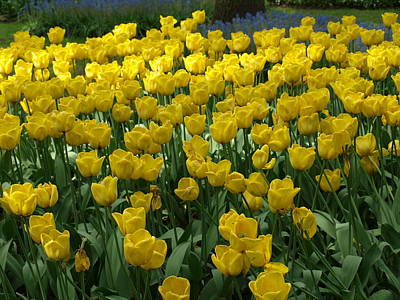 Yellow Tulips 2 Art Print by Larry Krussel