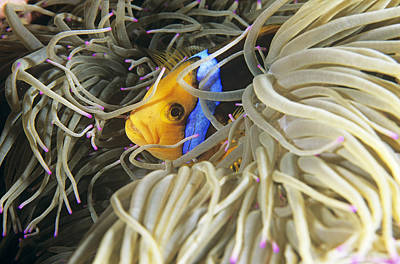Yellowtail Anemonefish In Its Anemone Art Print by Alexis Rosenfeld