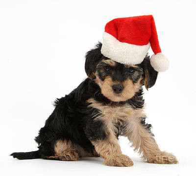 Yorkipoo Pup Wearing Christmas Hat Art Print