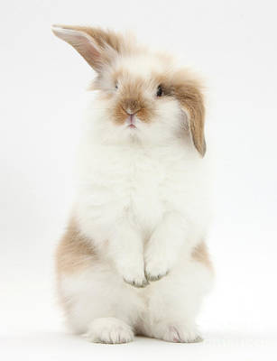 Photograph - Young Fluffy Rabbit Standing Up by Mark Taylor