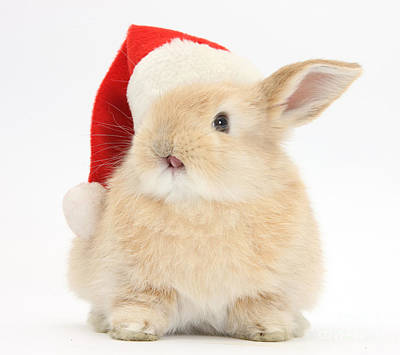 House Pet Photograph - Young Sandy Rabbit Wearing A Christmas by Mark Taylor
