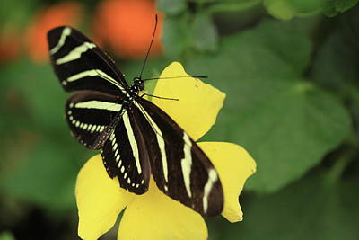 Photograph - Zebra Longwing by Rick Berk